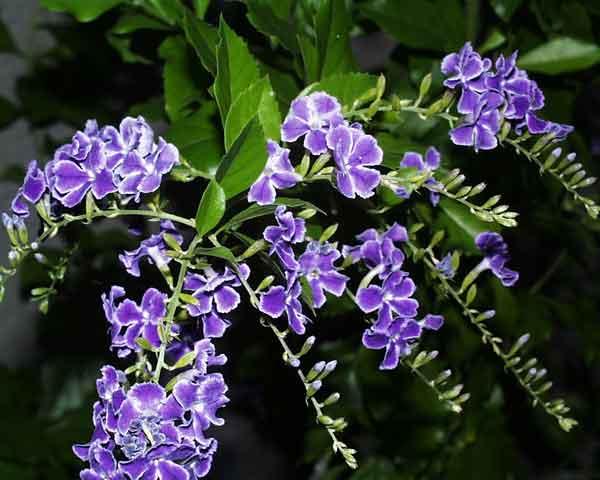 名前の分からない花�U 名前の分からない花�Uです。ふちどりや房になって垂れ下がる様子がきれい.